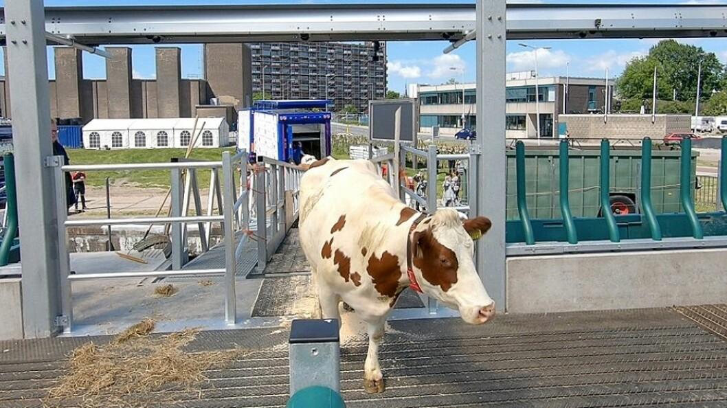 Denne kua er en del av besetningen som skal slå seg ned i det flytende fjøset i havna i Rotterdam.