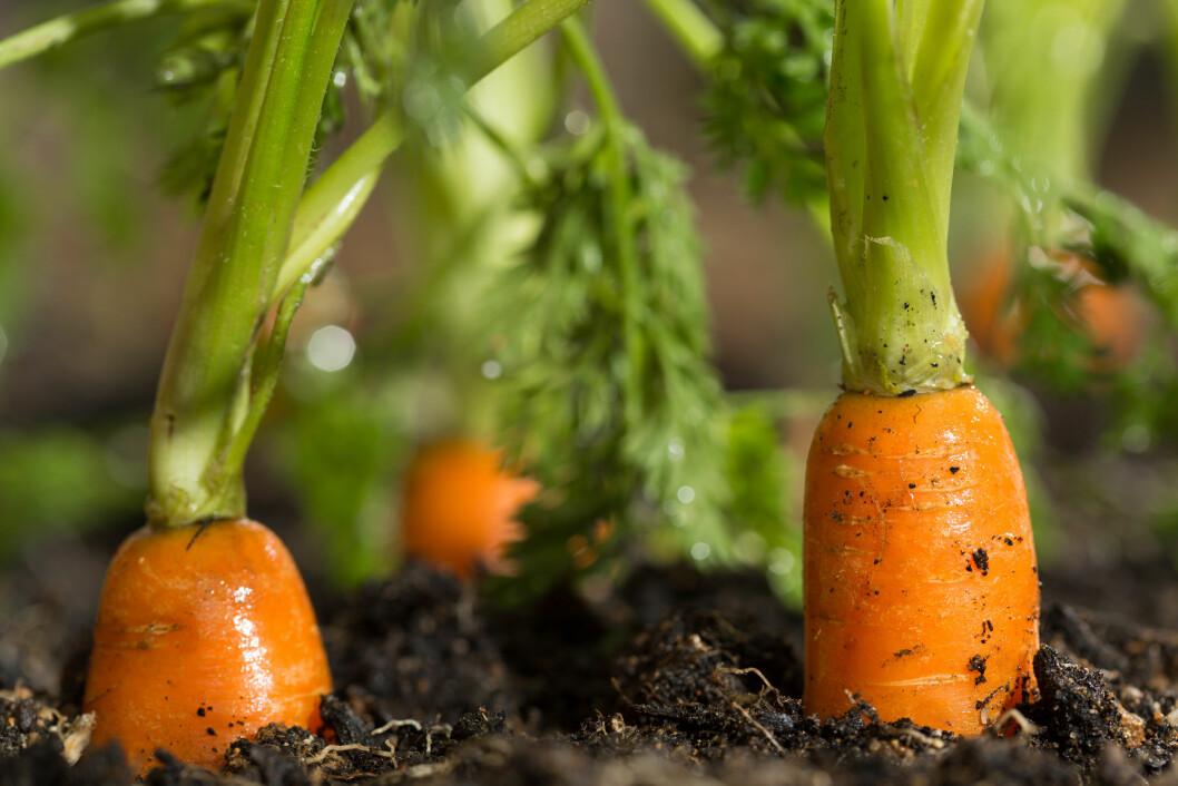 Prisen på leie av jord til grønnsaksdyrking skyter i været. Foto: colourbox.com