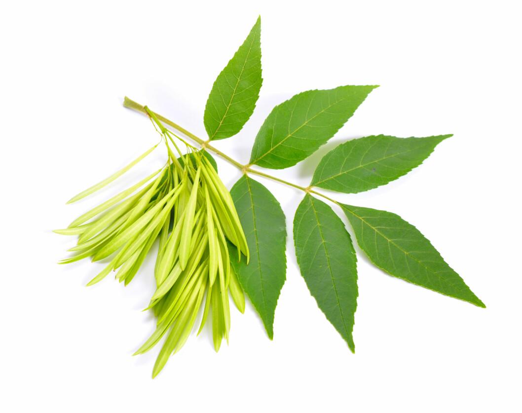 Du skal helst leite etter unge, friske asketrær med frø, oppfordrer NIBIO. Foto: colourbox.com