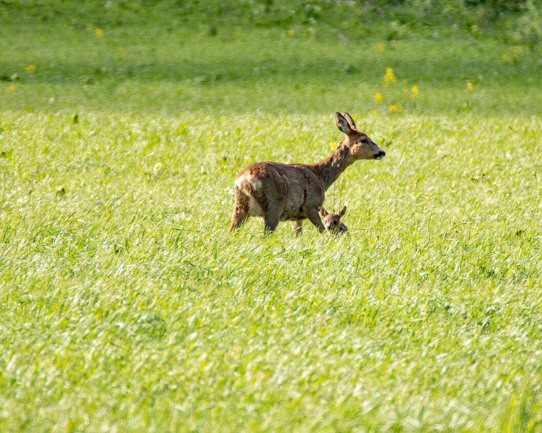 Rådyrmora gjemmer kalven i graset når hun forlater den. Det er den visse død dersom slåmaskina kommer i mellomtida. Foto: colourbox.com
