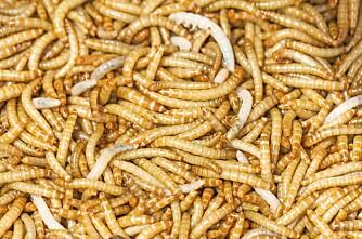 Dyrker larver til fôr