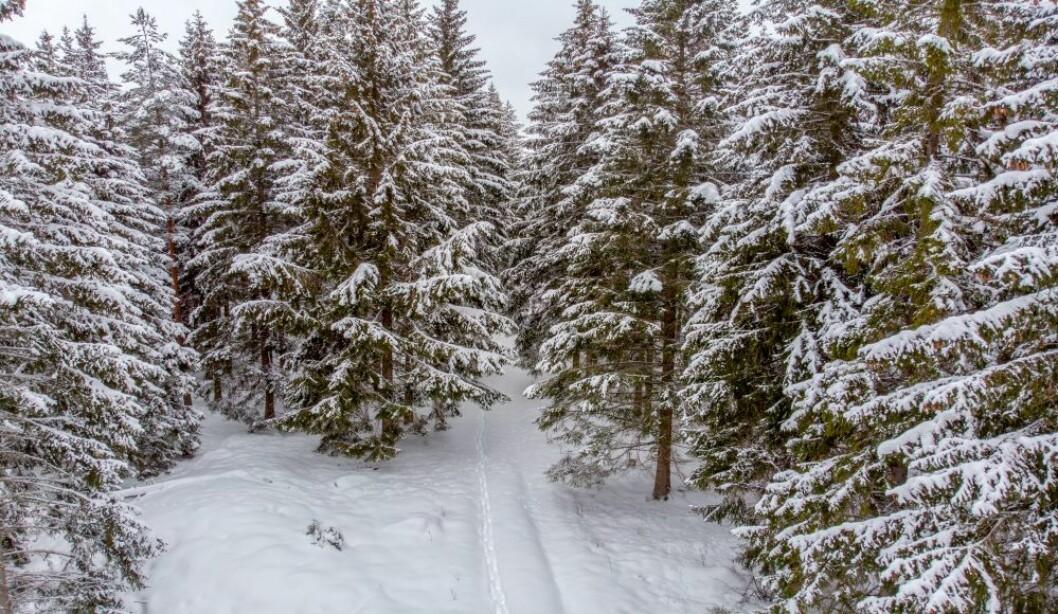 Som man sår, så høster man. Norsk skogforvaltning og kartlegging har vært en suksess de siste 100 åra. Foto: colourbox.com
