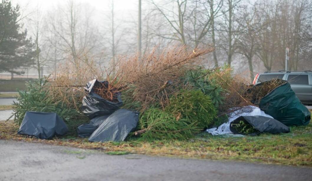 Når vi har kasta ut jula, er det noen juletrær som fortsatt har nålene på. Andre er ribba. Hvorfor er det slik? Foto: colourbox.com