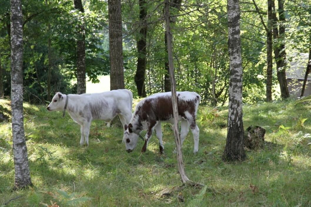 Beitedyr utnytter areal som ikke ellers kunne blitt brukt til matproduksjon.