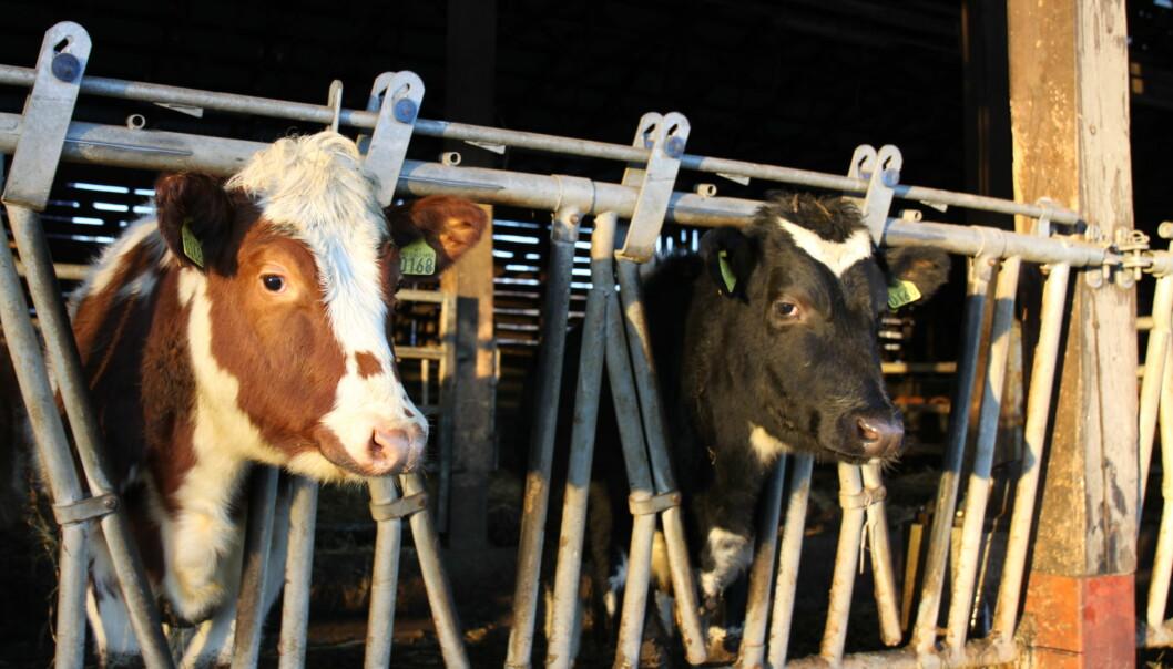 2019 så en nedgang i antall økologiske ammekyr og produsert storfekjøtt, men det kan skyldes tørkesommeren året før.