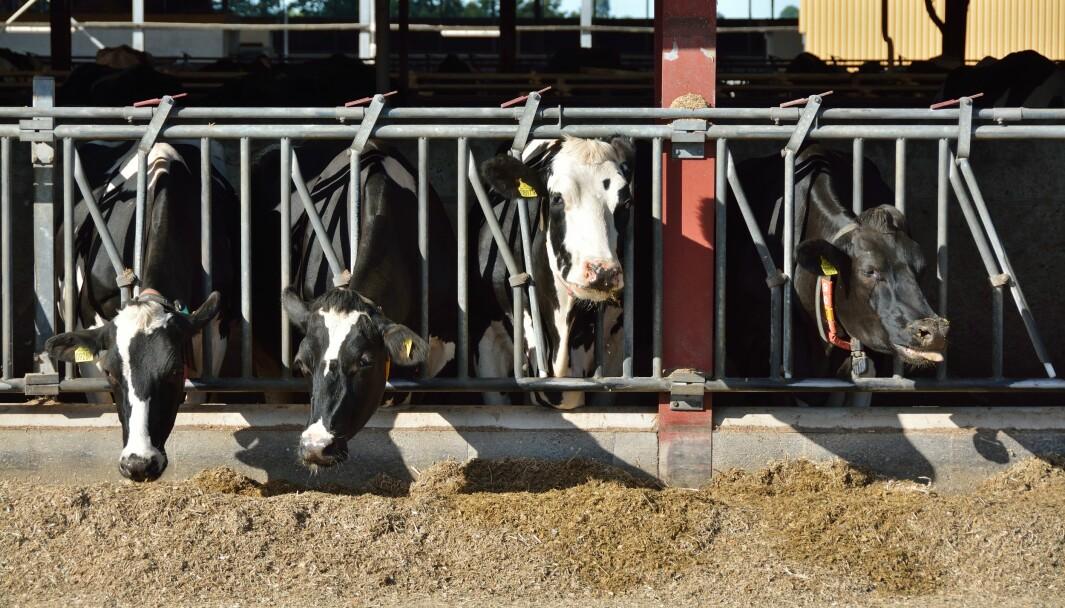 Et par gram med pulveret 3-NOP i fôret er nok til å begrense metan-rap fa danske mjølkekyr.