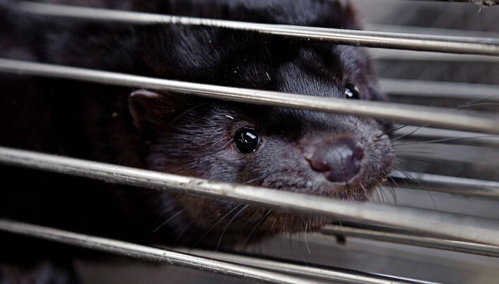 Danmark avliver alle mink - kan bety slutten for næringen