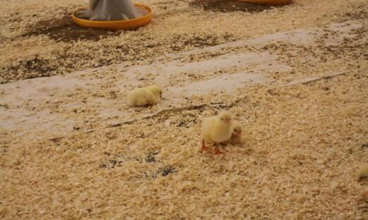 Fjørfebønder overser helsefare