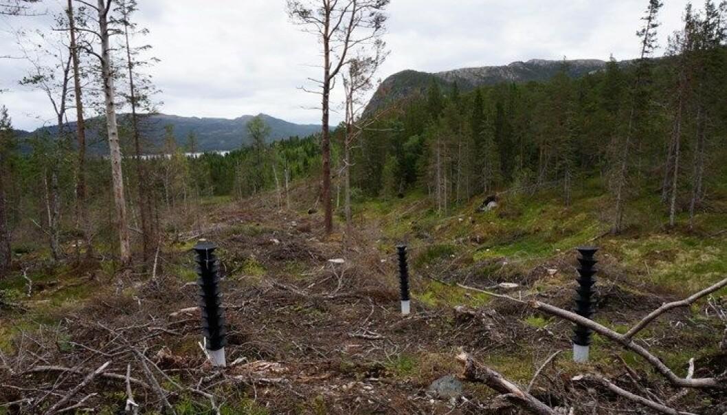 Barkbillefellene har ikke framtida for seg, skal vi tro en ny, svensk studie. Her barkbille-feller i Trøndelag.