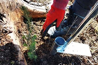 300 ønsker å jobbe med skogplanting