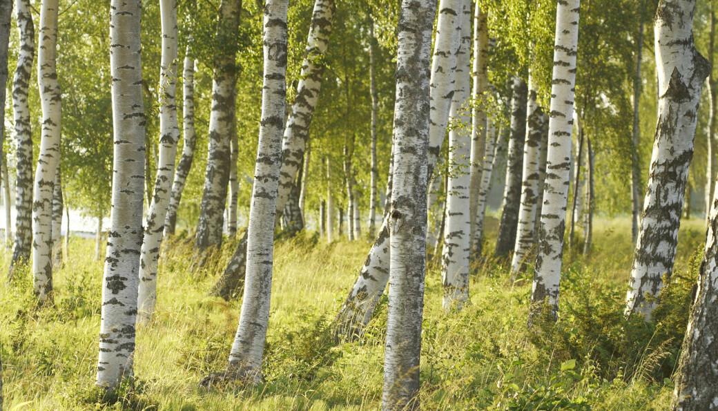 Løvskogen i Norge vokser. Foto: Colourbox