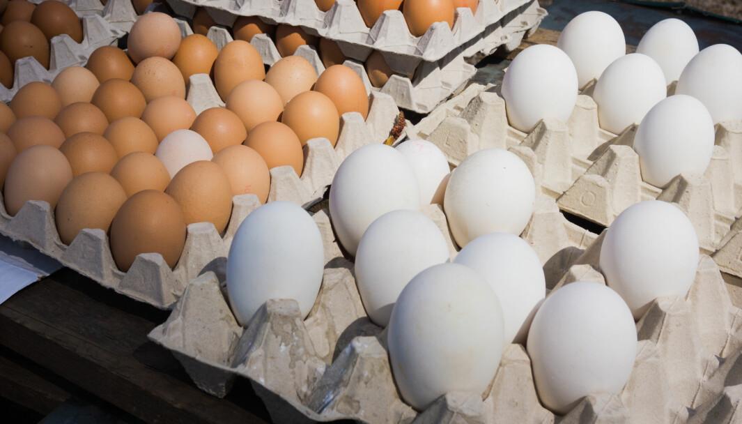 Mange danske verpehøner lider av brudd i kjølbeinet som følge av at de produserer for store egg.