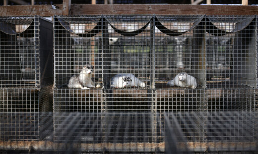 Danmark forbyr minkoppdrett i et år til