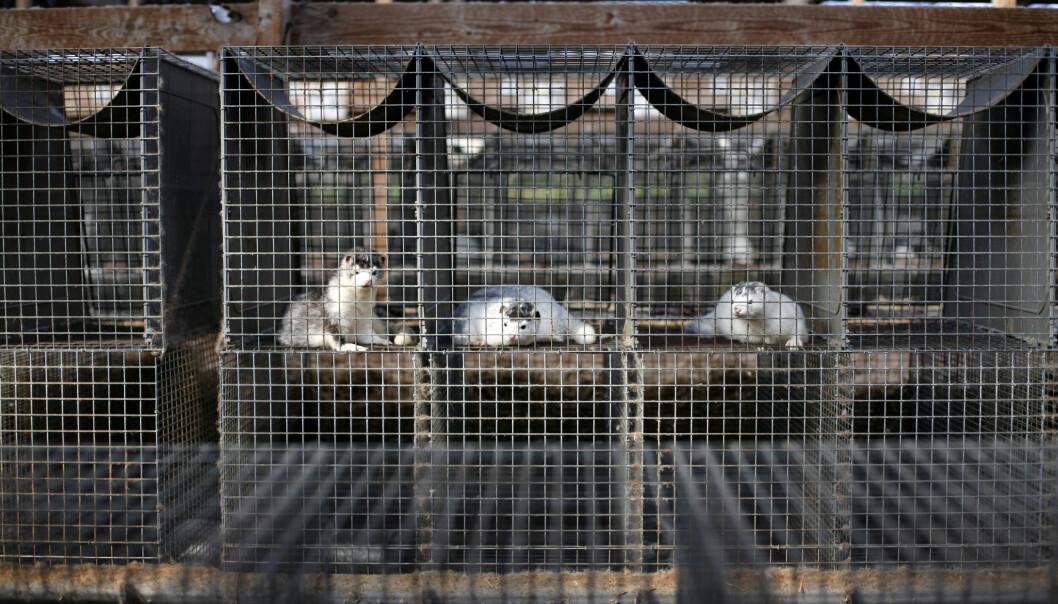 Det ser ut til at det ikke vil komme dyr i de danske minkburene igjen før i 2023. Foto: colourbox.com